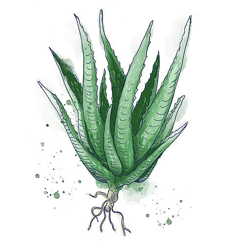Aloe Barbadensis Leaf Juice Powder
