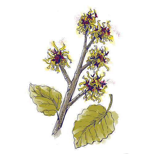 Hamamelis Virginiana (Witch Hazel) Leaf Water