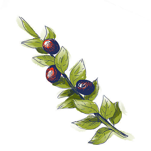 Ruscus Aculeatus Root Extract